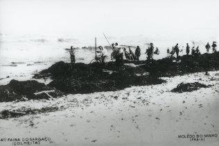 Apanha do sargaço em Moledo