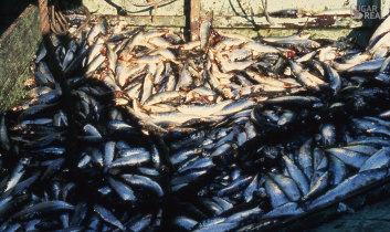 Descarga do pescado